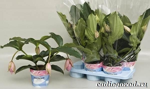 Мединилла-цветок-Описание-особенности-виды-и-уход-за-Мединиллой-4