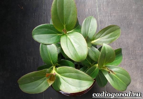 Мединилла-цветок-Описание-особенности-виды-и-уход-за-Мединиллой-8