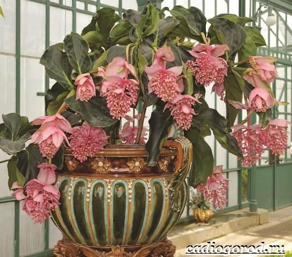 Мединилла-цветок-Описание-особенности-виды-и-уход-за-Мединиллой-9