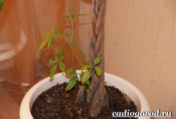 Пахира-цветок-Описание-особенности-виды-и-уход-за-пахирой-13