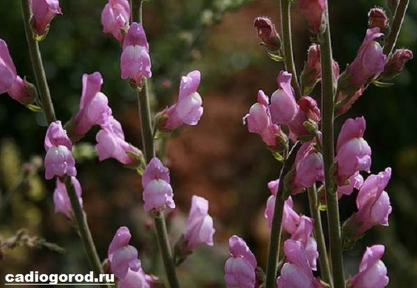 Антирринум-цветок-Описание-особенности-виды-и-уход-за-антирринумом-4