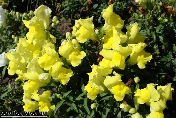 Антирринум-цветок-Описание-особенности-виды-и-уход-за-антирринумом-5