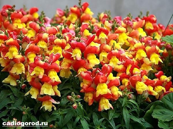 Антирринум-цветок-Описание-особенности-виды-и-уход-за-антирринумом-7