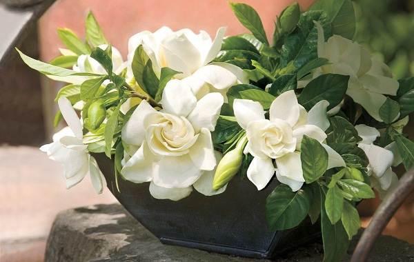 Гардения-цветок-Описание-особенности-уход-и-цена-гардении-16