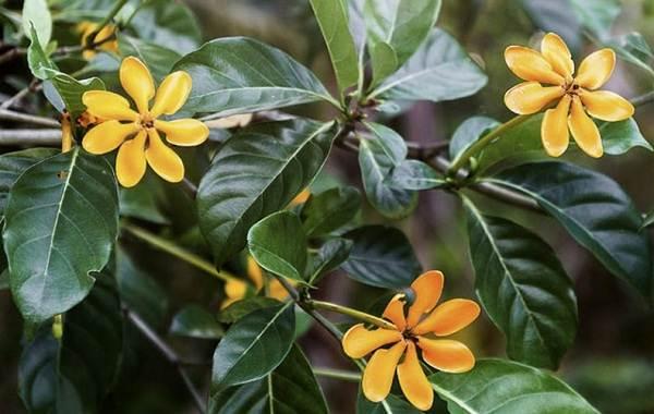 Гардения-цветок-Описание-особенности-уход-и-цена-гардении-20