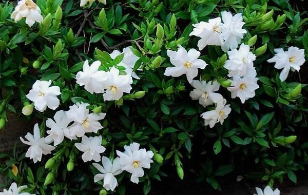 Гардения-цветок-Описание-особенности-уход-и-цена-гардении-21