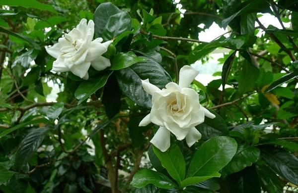 Гардения-цветок-Описание-особенности-уход-и-цена-гардении-24