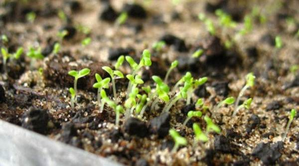 Нивяник-цветок-Описание-особенности-виды-и-уход-за-нивяником-17