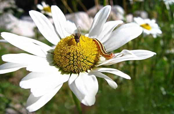 Нивяник-цветок-Описание-особенности-виды-и-уход-за-нивяником-19