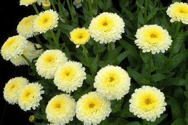 Нивяник-цветок-Описание-особенности-виды-и-уход-за-нивяником-25