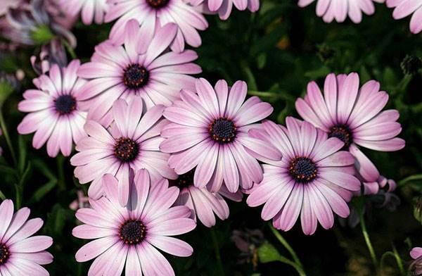 Диморфотека-цветок-Описание-особенности-виды-и-выращивание-диморфотеки-10
