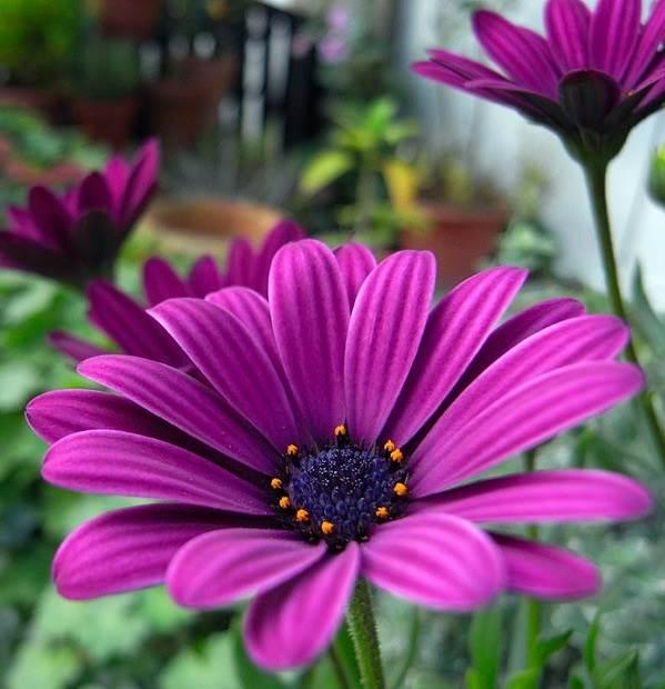 Диморфотека-цветок-Описание-особенности-виды-и-выращивание-диморфотеки-2