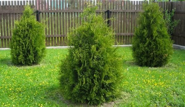 Туя-брабант-дерево-Описание-особенности-виды-посадка-и-уход-за-туей-брабант-4