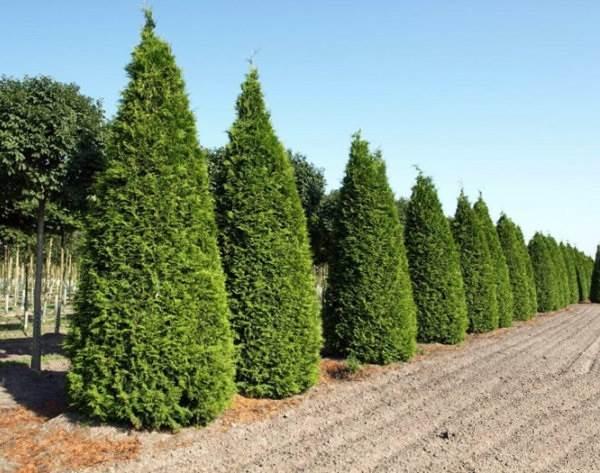 Туя-брабант-дерево-Описание-особенности-виды-посадка-и-уход-за-туей-брабант-5