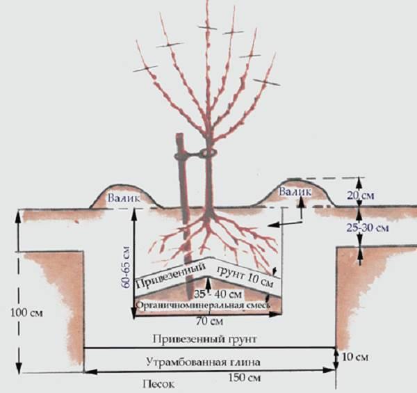 Туя-брабант-дерево-Описание-особенности-виды-посадка-и-уход-за-туей-брабант-7