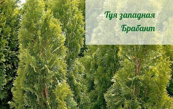 Туя-пирамидальная-дерево-Описание-особенности-виды-и-цена-туи-пирамидальной-6