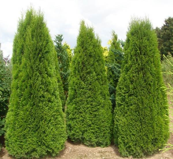 Туя-смарагд-дерево-Описание-особенности-посадка-и-уход-за-туей-смарагд-2