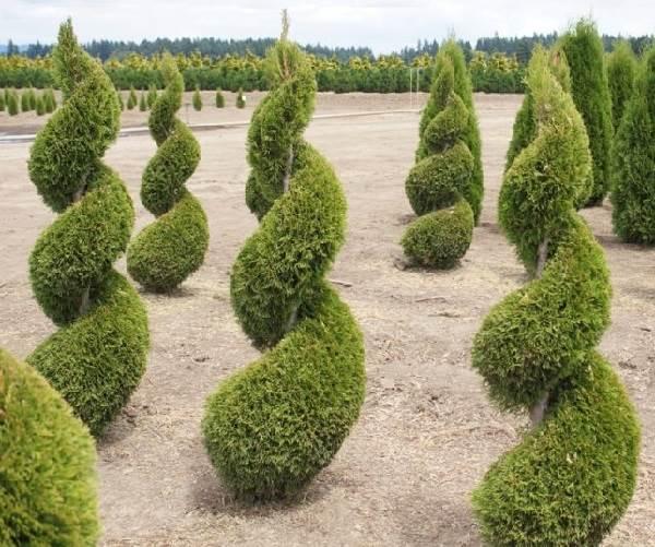Туя-смарагд-дерево-Описание-особенности-посадка-и-уход-за-туей-смарагд-8