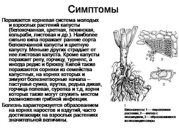 Капуста-кольраби-Описание-особенности-виды-и-выращивание-кольраби-20