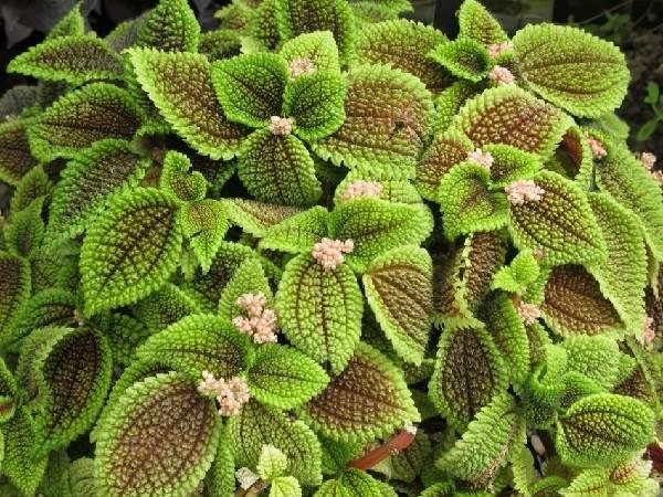 Пилея-растение-Описание-особенности-виды-и-выращивание-пилеи-1
