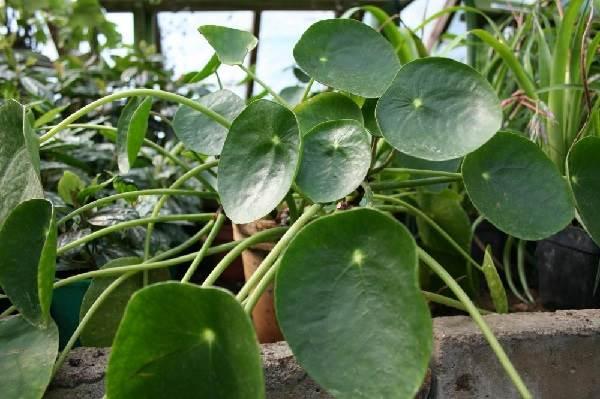Пилея-растение-Описание-особенности-виды-и-выращивание-пилеи-3