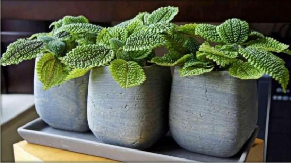 Пилея-растение-Описание-особенности-виды-и-выращивание-пилеи-5