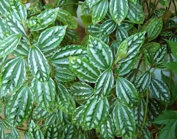 Пилея-растение-Описание-особенности-виды-и-выращивание-пилеи-8