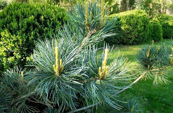 Сосна-гималайская-дерево-Описание-особенности-виды-посадка-и-уход-13