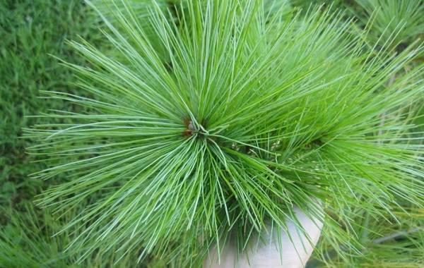 Сосна-гималайская-дерево-Описание-особенности-виды-посадка-и-уход