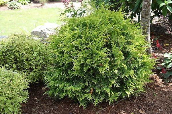 Туя-шаровидная-дерево-Описание-особенности-виды-посадка-и-уход-10