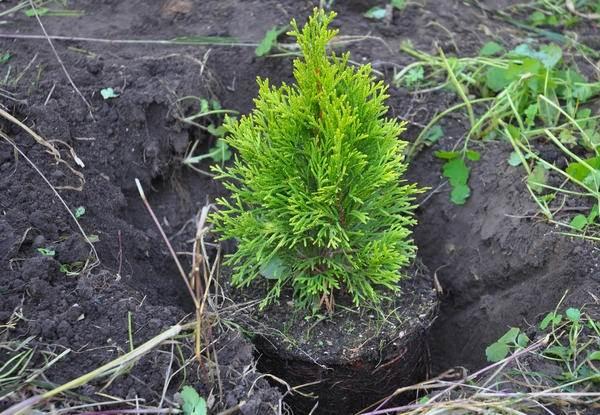 Туя-шаровидная-дерево-Описание-особенности-виды-посадка-и-уход-11
