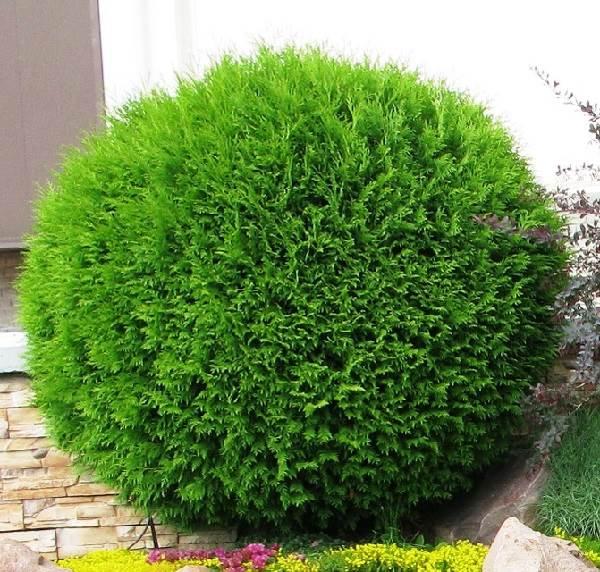 Туя-шаровидная-дерево-Описание-особенности-виды-посадка-и-уход-9