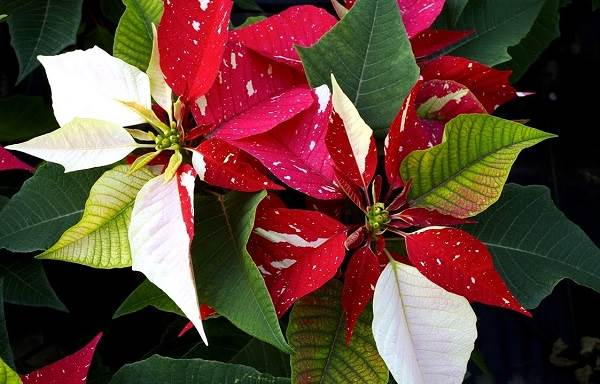 Пуансеттия-цветок-Описание-особенности-виды-и-выращивание-паунсеттии-7