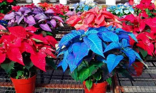 Пуансеттия-цветок-Описание-особенности-виды-и-выращивание-паунсеттии-8