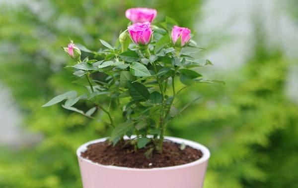 Роза-Кордана-цветок-Описание-особенности-виды-и-выращивание-розы-Кордана-11