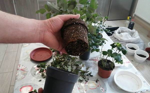 Роза-Кордана-цветок-Описание-особенности-виды-и-выращивание-розы-Кордана-16