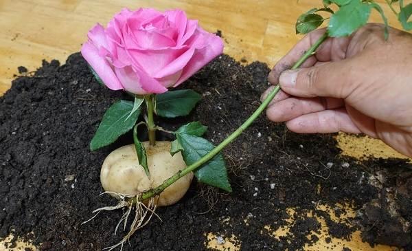 Как-посадить-розу-из-букета-2