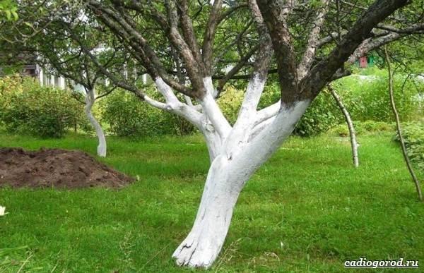 Побелка-деревьев-Для-чего-когда-и-чем-белить-деревья-2