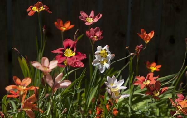 Спараксис-цветок-Описание-особенности-виды-посадка-и-уход-за-спараксисом-6