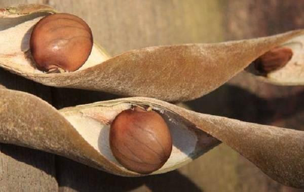 Глициния-растение-Описание-и-особенности-виды-и-сорта-как-и-где-сажать-глицинию-16