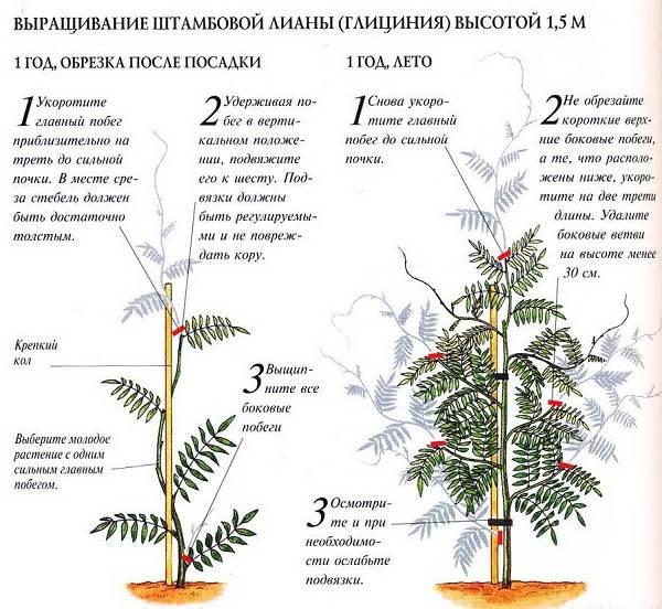 Глициния-растение-Описание-и-особенности-виды-и-сорта-как-и-где-сажать-глицинию-22