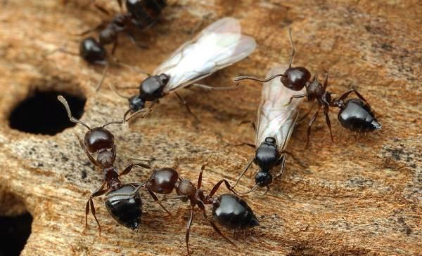 Муравьи-в-огороде-Польза-вред-и-как-бороться-с-муравьями-в-огороде-2