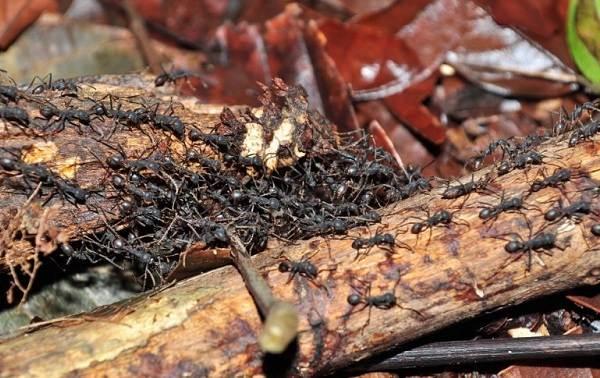 Муравьи-в-огороде-Польза-вред-и-как-бороться-с-муравьями-в-огороде-4