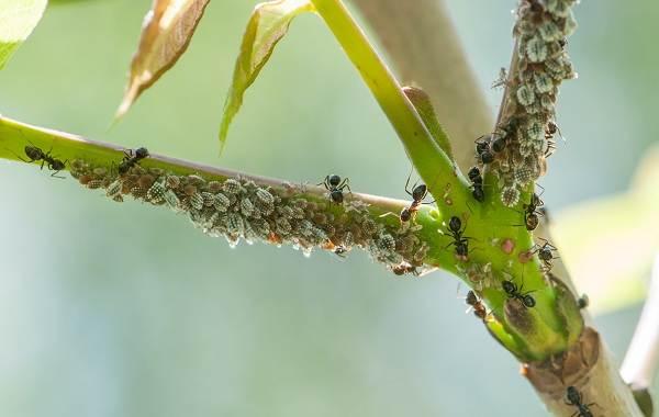 Муравьи-в-огороде-Польза-вред-и-как-бороться-с-муравьями-в-огороде-8