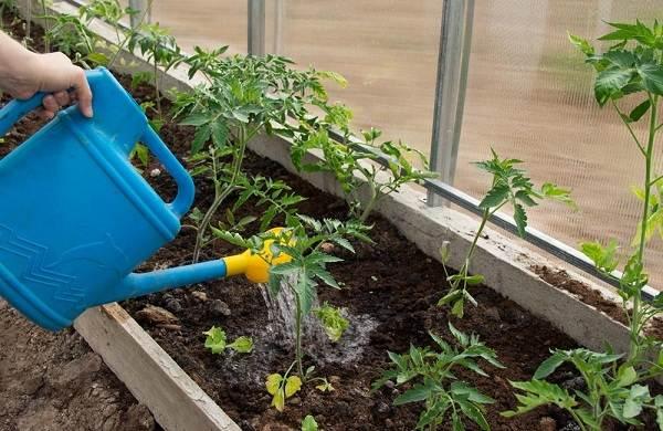 Почему-в-теплице-не-опыляются-помидоры-Как-и-чем-опылять-помидоры-в-теплице-10