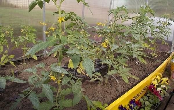 Почему-в-теплице-не-опыляются-помидоры-Как-и-чем-опылять-помидоры-в-теплице-15