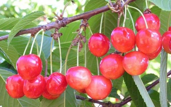 Черешня-растение-Описание-и-особенности-сорта-польза-и-вред-уход-и-выращивание-черешни-11