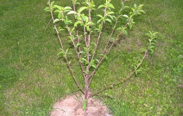 Черешня-растение-Описание-и-особенности-сорта-польза-и-вред-уход-и-выращивание-черешни-18