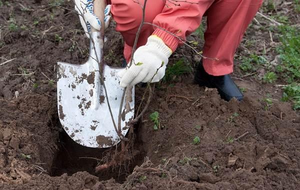 Черешня-растение-Описание-и-особенности-сорта-польза-и-вред-уход-и-выращивание-черешни-19