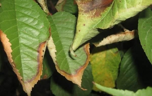 Черешня-растение-Описание-и-особенности-сорта-польза-и-вред-уход-и-выращивание-черешни-21
